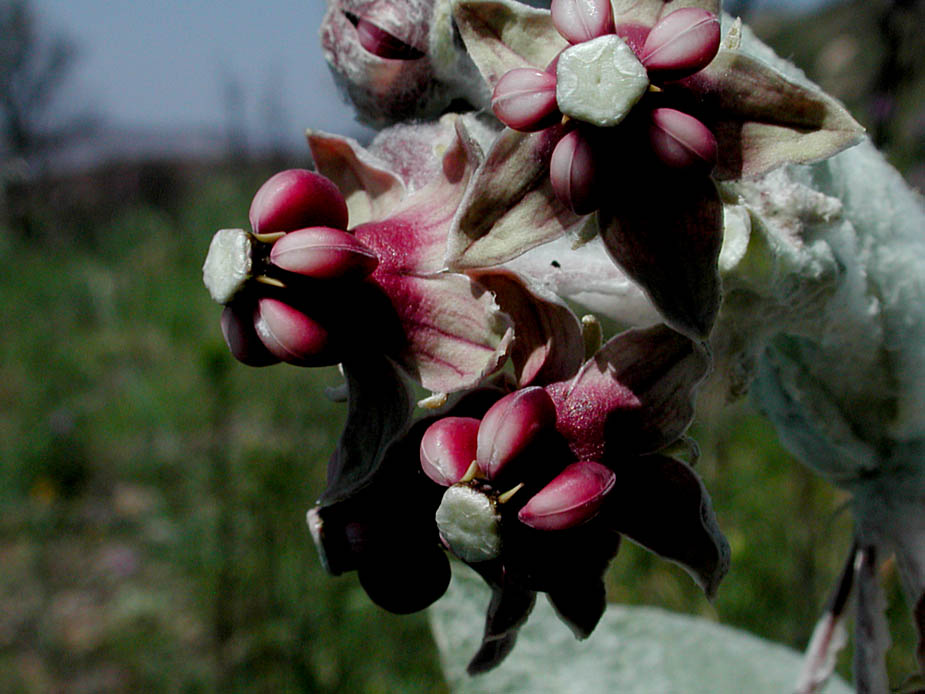 Asclepias californica; Photo # 108