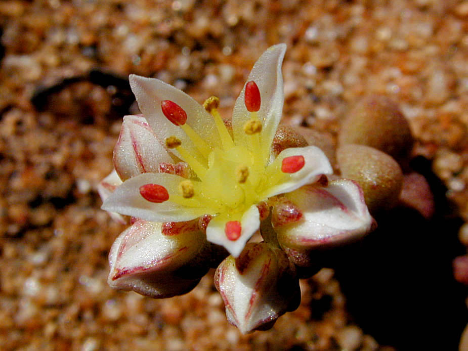 Dudleya brevifolia; Photo # 118