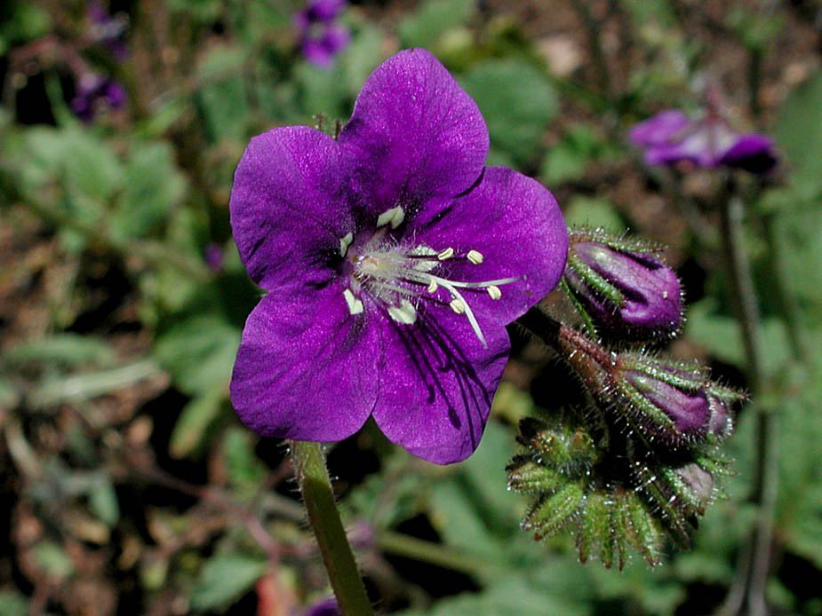 Phacelia parryi; Photo # 125