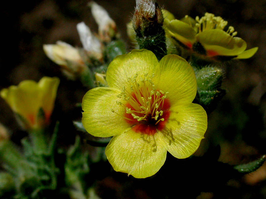 Mentzelia montana; Photo # 132
