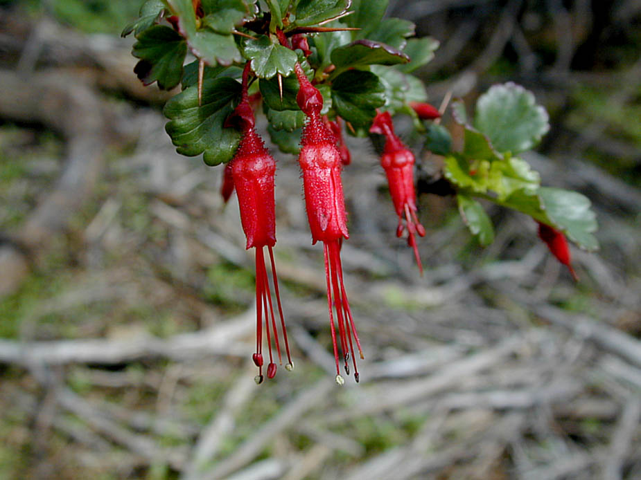 Ribes speciosum; Photo # 23