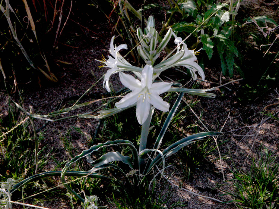 Hesperocallis undulata; Photo # 26