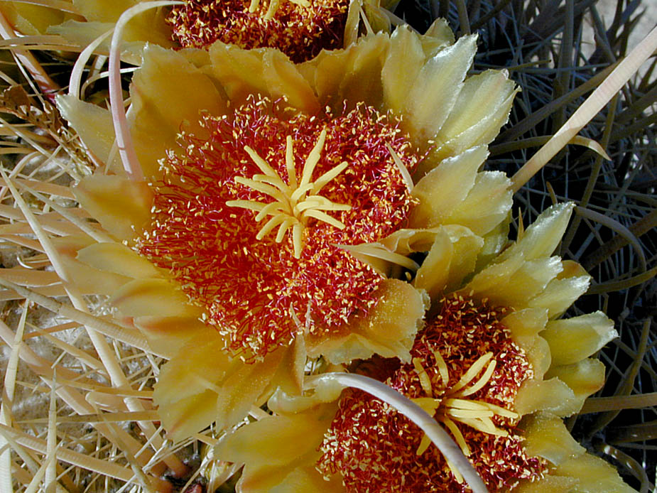 Ferocactus cylindraceus var. cylindraceus; Photo # 5