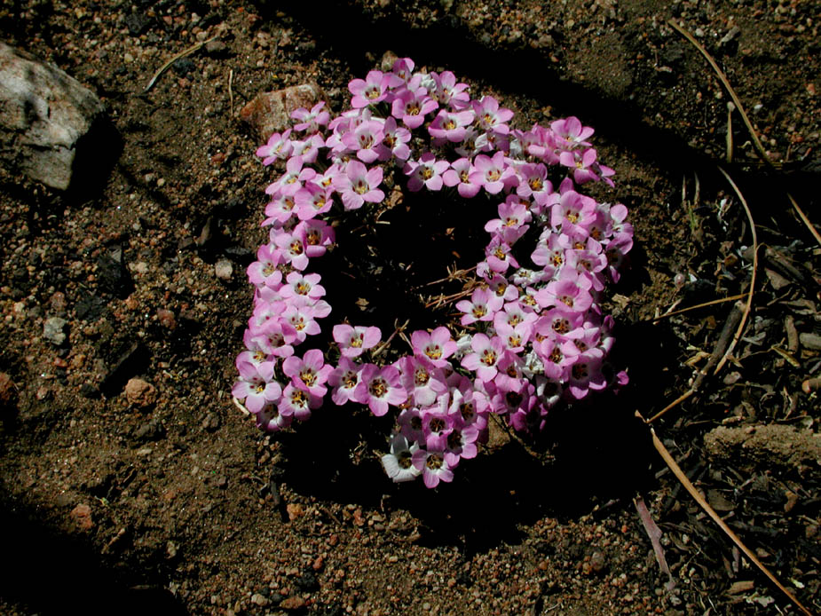Linanthus orcuttii; Photo # 76