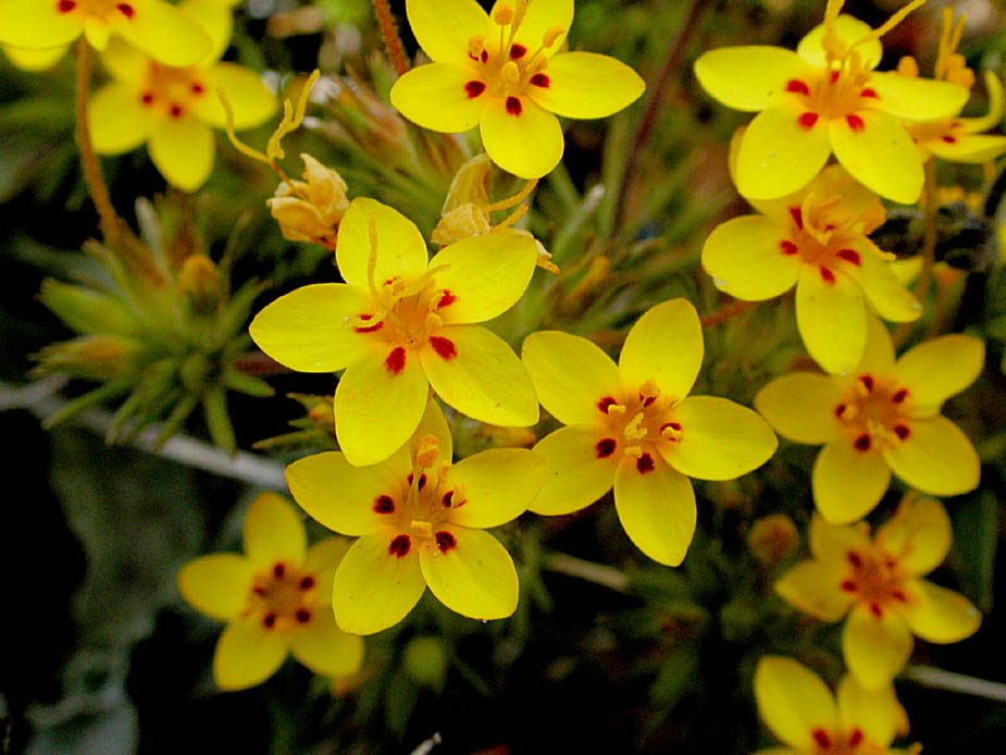 Linanthus parviflorus [Yellow]; Photo # 77