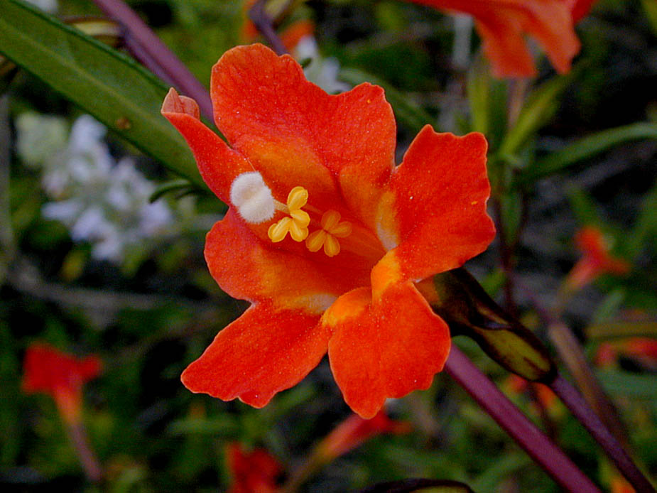 Mimulus puniceus; Photo # 81