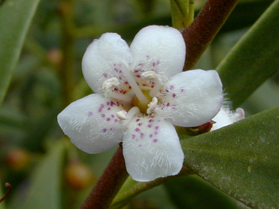 Myoporum laetum; Photo # 84