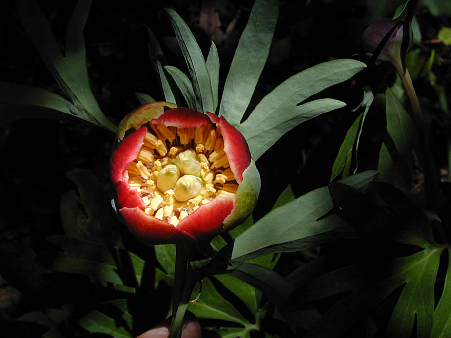 Paeonia californica; Photo # 91