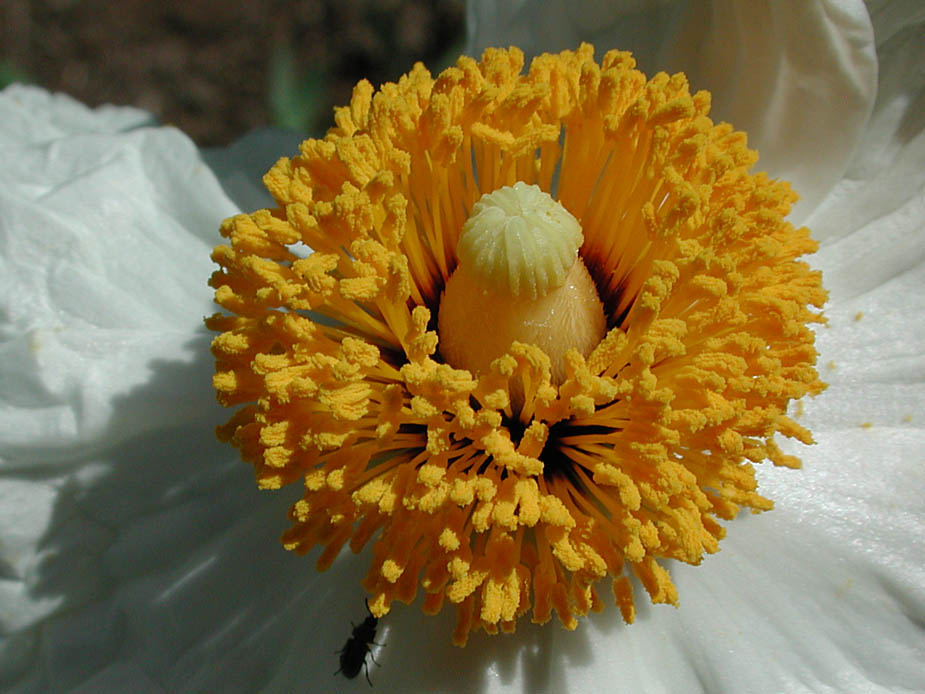 Romneya coulteri; Photo # 93