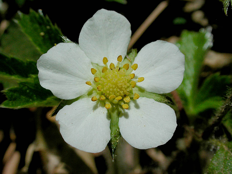 Fragaria vesca; Photo # 97